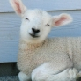 Happy lamb is happy