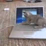 Kitten plays with laptop