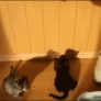 Kittens jump for shadow