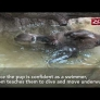 Otter pups' swimming lesson