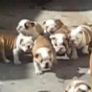 A herd of Bulldog puppies chase their mom