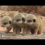Baby meerkats