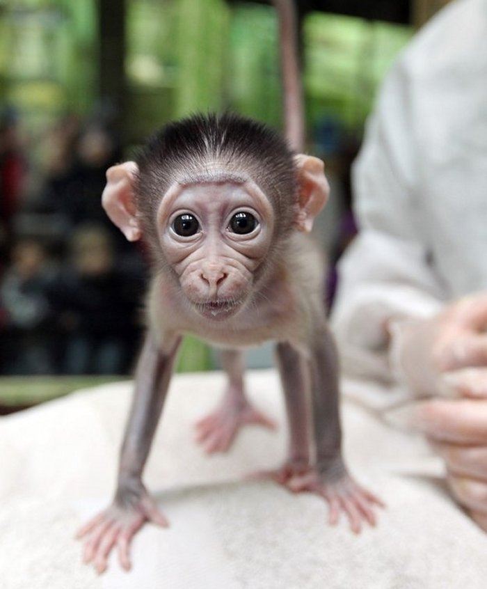 baby monkey is ready - teh cute