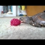 Baby turtle eats raspberry