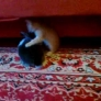 Kitten vs. bunny wrestling
