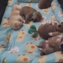 Sleeping Shiba Inu puppies