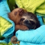 Sloths cuddling between blankets