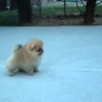 8 Week Old Pomeranian Puppy Playing.