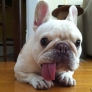 Derpy french bulldog
