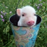 Piglet in a bucket