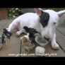Chick-loving Bull terrier