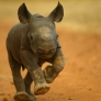 Baby Rhyno Running