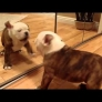 Bulldog puppy vs. mirror: 0-1
