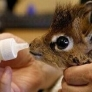 Just a baby dik-dik...