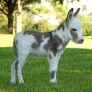 Miniature Donkey
