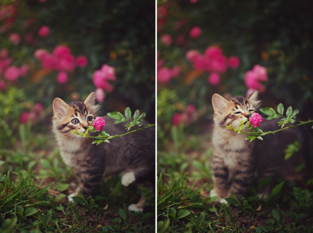Kitten stops to smell a flower