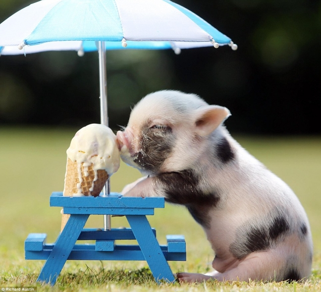 Piglet keeping cool