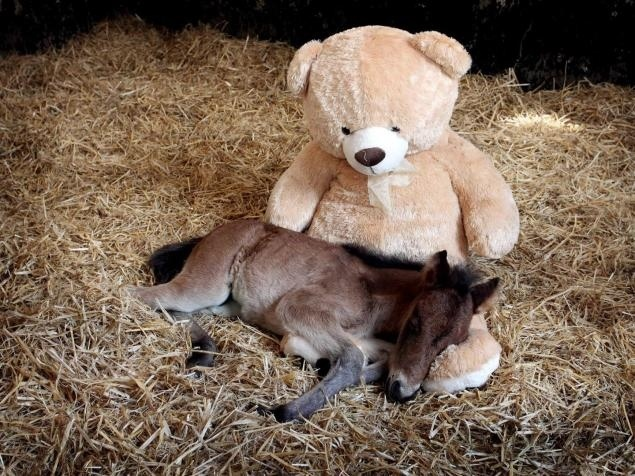 Baby horse sleeps with giant teddy bear