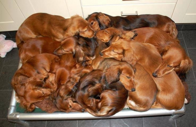 A pile of dachshunds