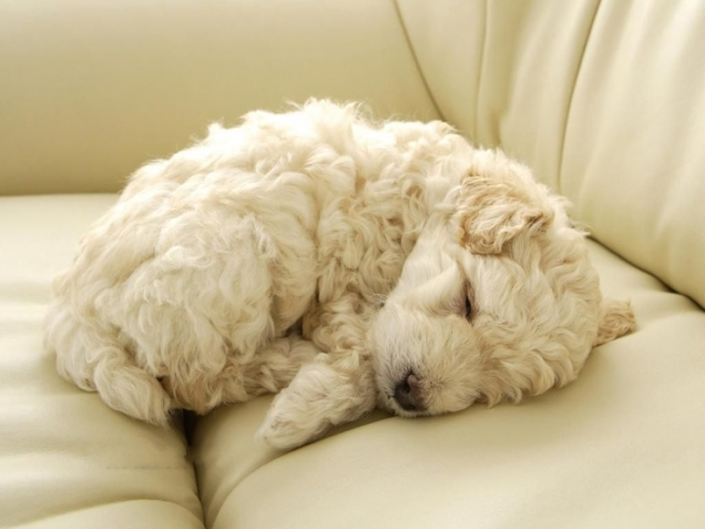 Curly furball poodle