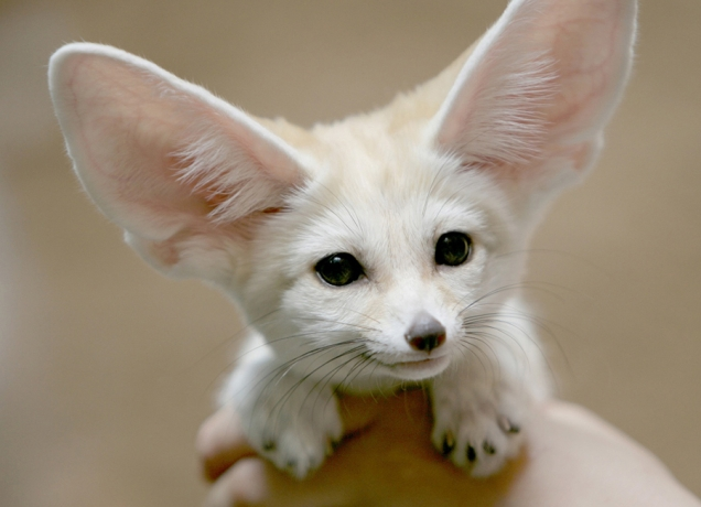Cute white fennec fox