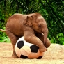 Baby elephant with his soccer ball