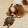 Cocker spaniel vs turtle