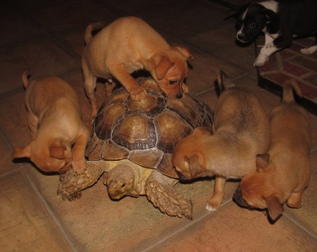 Curious puppies discovering a turtle