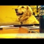 Golden Retriever loves the guitar