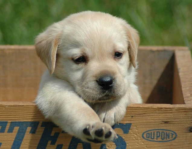 Labrador retriever in a box