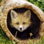 Little fox peek a boo