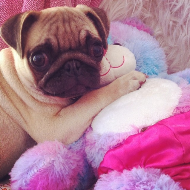 Little pug protecting his teddy bear