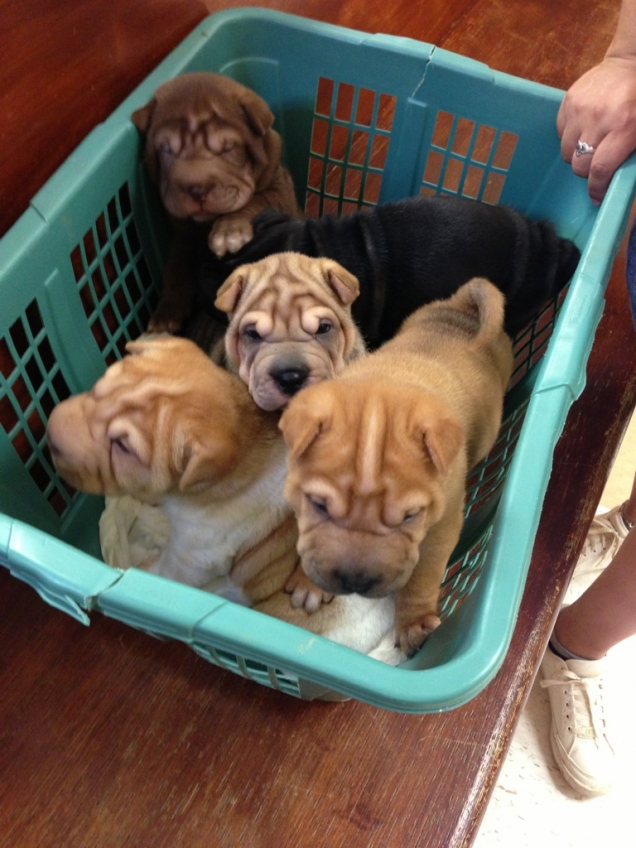 A basket of shar peis