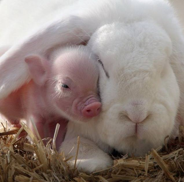 Teacup pig snuggles under the ear of a rabbit
