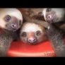 Bucket of sloths