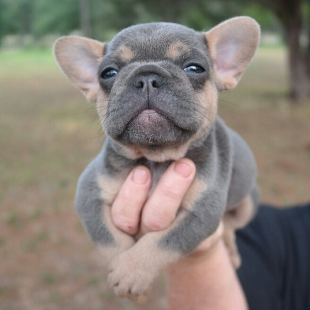 French bulldog puppies - photo#11