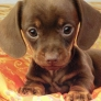 Little  dachshund