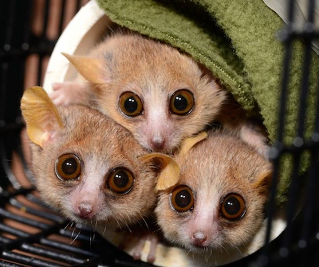 Some mouse lemurs