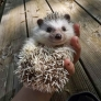 Happy little smiling hedgehog