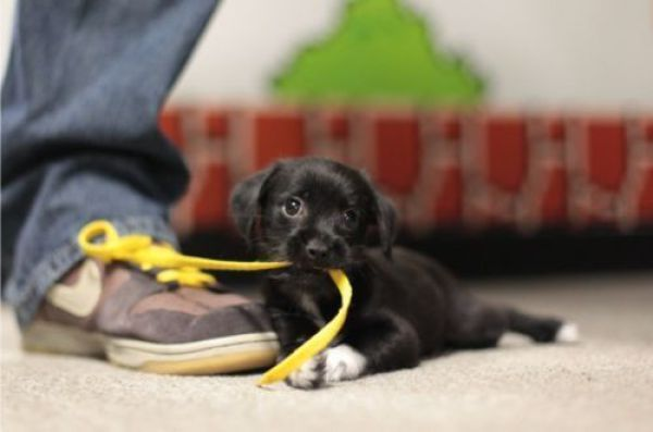Puppys Got Shoe Laces Teh Cute