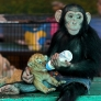 Chimp nurses tiger cub