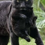 Panther mom carries panther baby