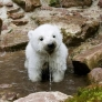 Polar bear cub drinking water