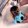 Baby monkey is bathed in the sink