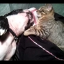 Boston Terrier plays with cat