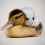 Duckling and hamster