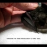 Nursing a baby bat - part 2