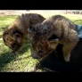 Lion cubs try to escape bucket