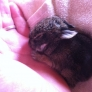 1-week-old bunny