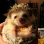 Hedgehog eating carrots